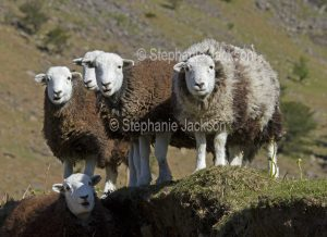 Herdwick sheep ewes, a British native breed, in the Lake District, Cumbria, England.