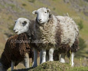 Herdwick sheep, a British native breed, in the Lake District, Cumbria, England.