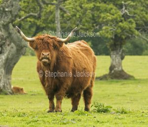 This shaggy highland bull is one of a breed of cattle that's native to Scotland.