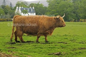 Shaggy highland cattle, a breed that's native to Scotland, are perfectly adapted for life in the highlands.