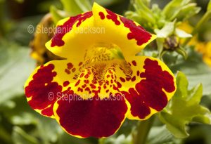 """Red and yellow flower of Mimulus 'Masterpiece', perennial plant commonly known as 'Monkey Flower""""."""