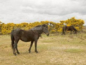 Ponies in the New Forest, England.