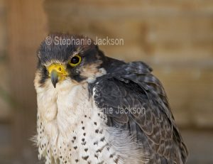 Peregrine falcon, Falco peregrinus, at Muncaster Castle near Ravenglass, England.