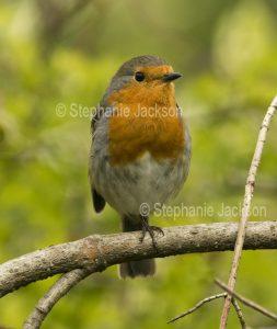 British Robin Redbreast, Erithacus rubecula,