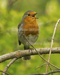 Robin Redbreast, Erithacus rubecula, singing a cheerful song.