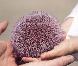 This edible sea urchin, Echinus esculentus, in a child's hand, was found in shallow water on the coast of the Isle of Skye in Scotland.