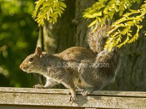 Grey squirrel in a garden in Begbroke, Oxfordshire, England.
