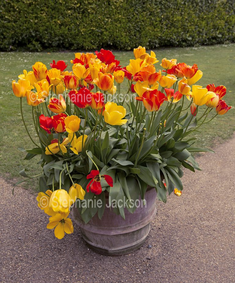 Yellow and red tulips growing in a large container.
