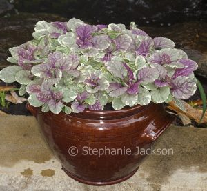 Ajuga reptans 'Burgundy Glow', with variegated foliage, growing in ceramic container