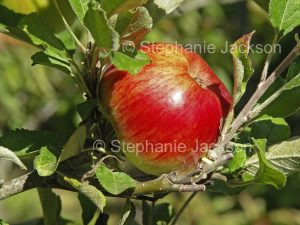 Red apple growing on a tree in Australia