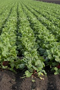 Field of beetroot, salad vegetable, growing on an organic farm in Australia