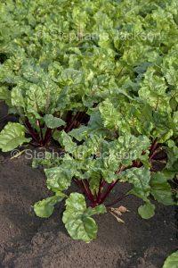 Beetroot, salad vegetable, growing on an organic farm in Australia