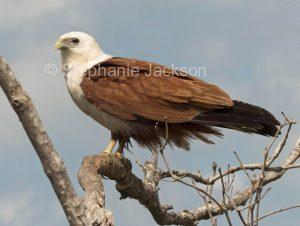 Brahminy kite, Haliastur indus