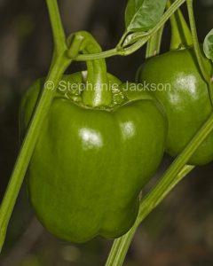 Green capsicum bell pepper growing