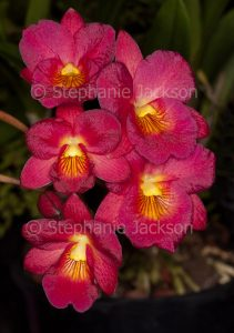 Vivid deep red flowers of orchid Cattleytonia 'Why Not' on dark green background