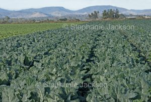 Field of cauliflowers, fresh vegetables, brassicas, growing on an organic farm in Australia