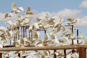 Flock of Little Corellas, Cacatua sanguinea,