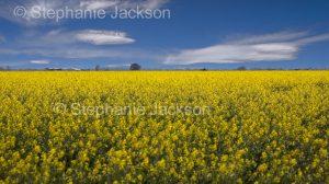 Field of flowering canola / rape seed