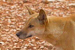 Face of Australian Dingo, Native Dog, Caunus lupus
