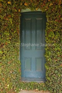 Dark green wooden cottage door completed framed / surrounded by ivy at Murrurundi, NSW Australia