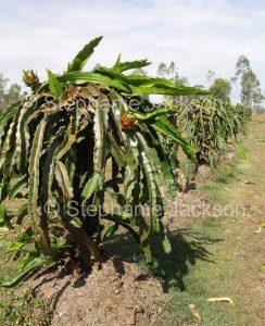 Dragon fruit plants growing on a fam in Australia