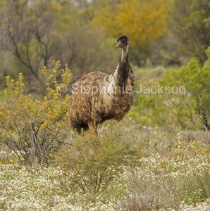 Australian emu, Dromaius novaehollandiae, among wildflowers in outback South Australia