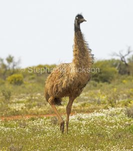 Australian emu, Dromaius novaehollandiae, flightless bird, among wildflowers in outback South Australia