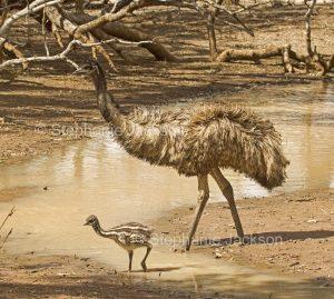 Australian emus, male with chick, Dromaius novaehollandiae, by water