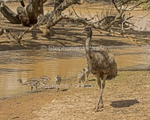 Australian emus, male with chicks, Dromaius novaehollandiae by water