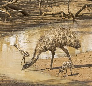 Australian emus, male with chicks, Dromaius novaehollandiae, drinking