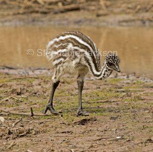 Australian emu chick, Dromaius novaehollandiae