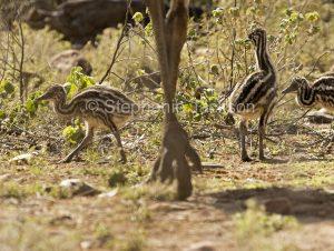 Australian emu chicks, Dromaius novaehollandiae