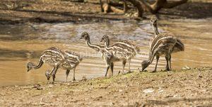 Australian emu chicks, Dromaius novaehollandiae, drinking