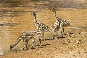 Australian emu chicks, Dromaius novaehollandiae, by river