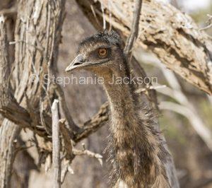 Face of Australian emu, Dromaius novaehollandiae