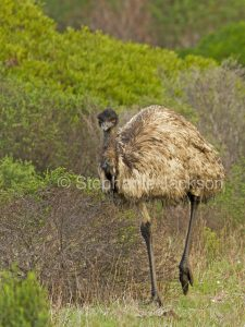 Australian emu, Dromaius novaehollandiae