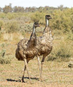 Two Australian emus, Dromaius novaehollandiae