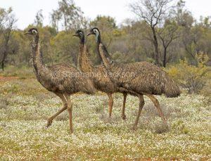 Australian emus, Dromaius novaehollandiae