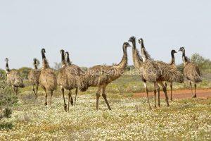 Flock of Australian emus, Dromaius novaehollandiae