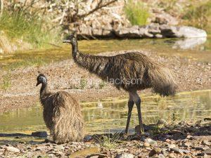 Australian emus, Dromaius novaehollandiae by stream