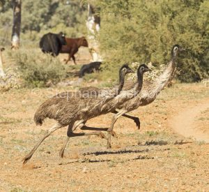 Group of Australian emus, Dromaius novaehollandiae, running