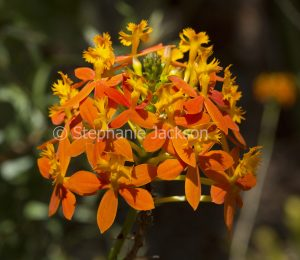 Orange flowers of Crucifix Orchid. Epidendrum ibaguense on dark background