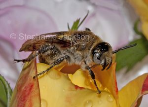 Australian beneficial insect, Hairy flower wasp, Campsomeris tasmaniensis, on a rose