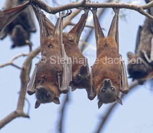 Three Australian grey-headed flying foxes / fruit bats (Pteropus poliocephalus) hanging side by side, staring at camera, in Queensland Australia