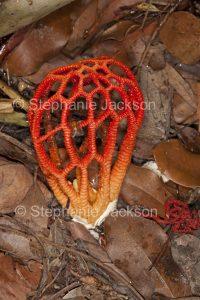 Australian Fungus, Colus pusillus, red stinkhorn fungus, craypot fungus.