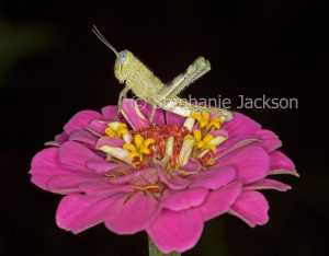 Insect pest - grasshopper on bright pink zinnia flower