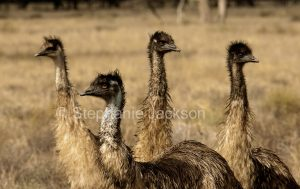 Group of Australian emus, Dromaius novaehollandiae