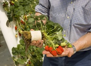 Man showing roots and fruit of strawberries grown in a hydroponic system in Australia