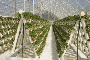 Rows of strawberries growing in a hydroponic system in a greenhouse Australia