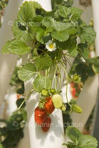 Strawberry plant with fruit and flowers growing in a hydroponic system in a greenhouse in Australia